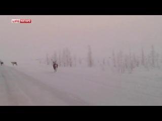Северные олени, голодающие из-за метровых сугробов, атаковали трассы Ямала